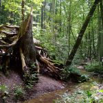 Wurzelfichte in Buckow (Märkische Schweiz)