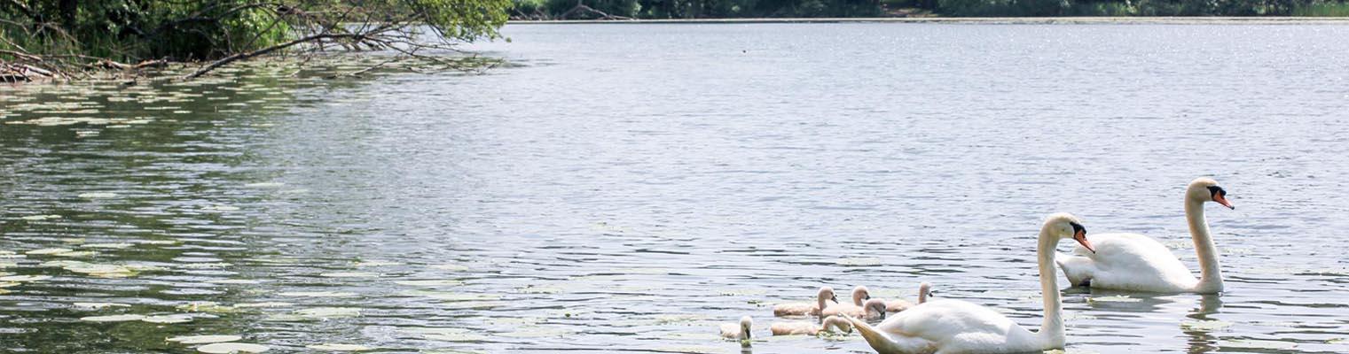 Schwäne auf einem See in Buckow (Märkische Schweiz)